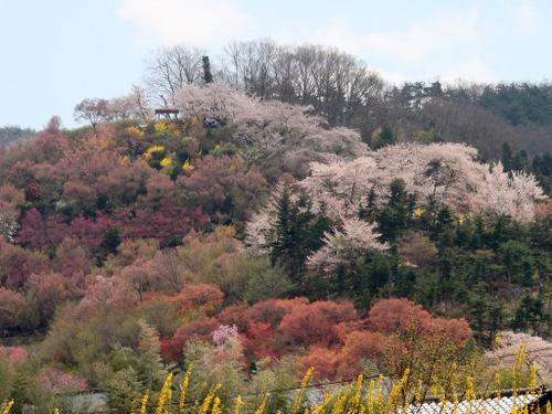 Sakura_1081