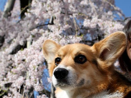 Sakura_2302
