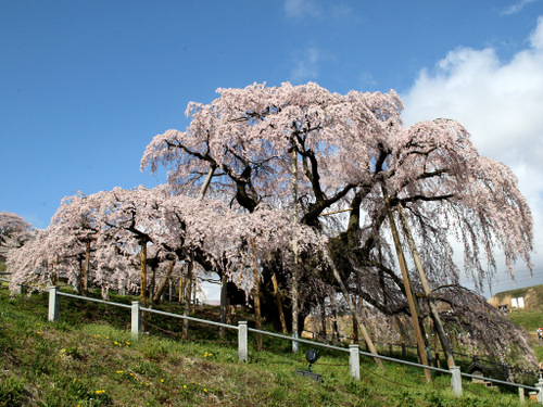 Sakura_2481