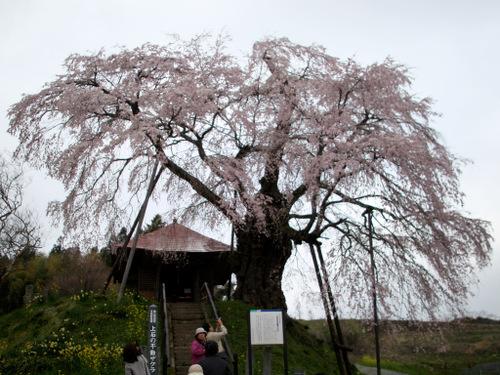 Sakura_376