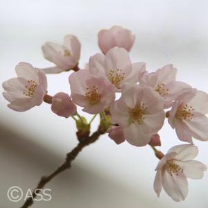 Sakura_010_2