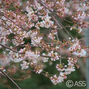 Sakura_019_2