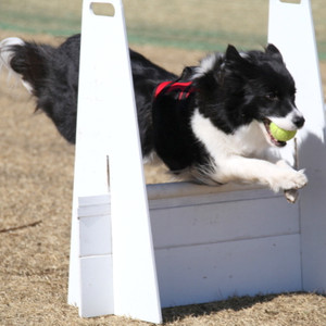 Ms_flyball_2372