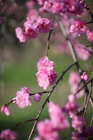 Sakura_0372