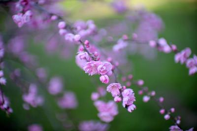 Sakura_0420