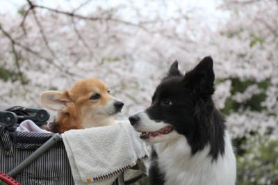 Sakura_0054_2