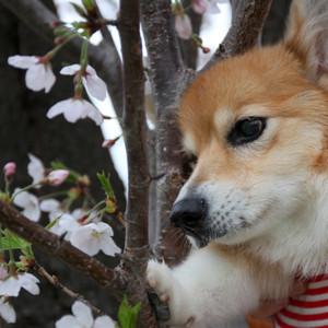Sakura_0112