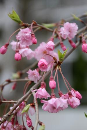 Sakura_0146