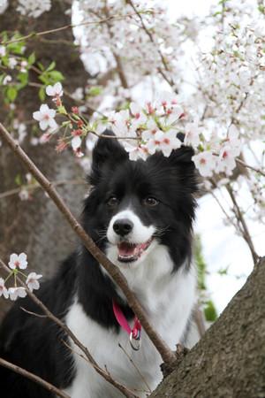 Sakura_0174