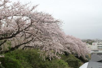 Sakura_0194